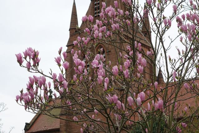 Magnolia at St Bartholomew's, Thurstaston.