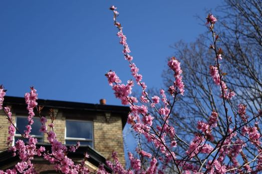 Cheered by blossoms on Croxteth Road.
