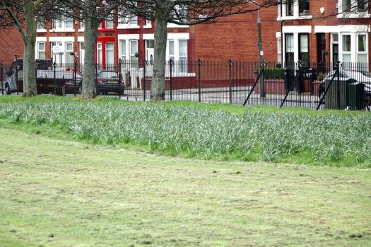 Where the daffodils are now mostly finishing.