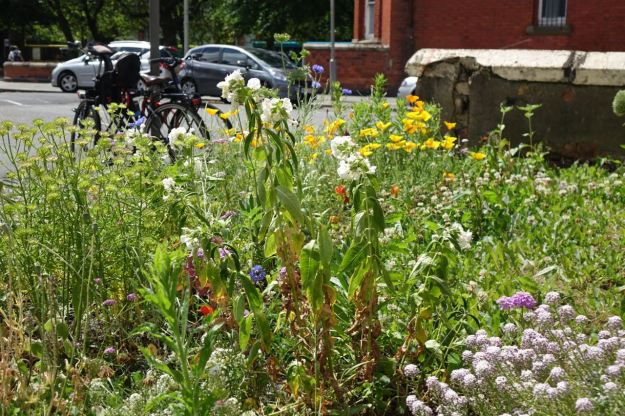 The wildflowers our guerilla gardeners have planted in great abundance