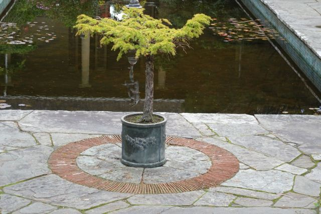This miniature larch is over 300 years old.
