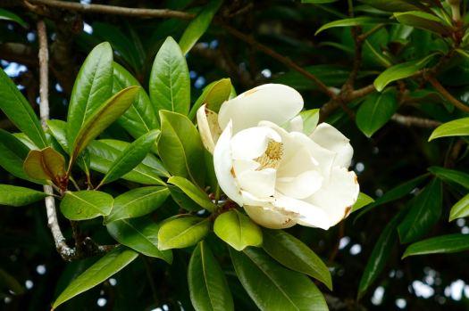 Autumn flowering magnolia.