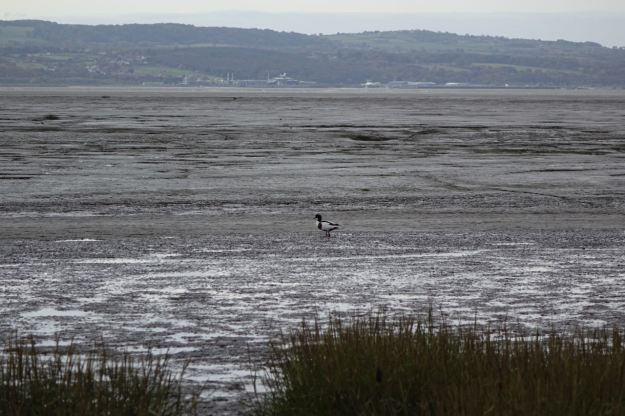 A Shelduck out in the Estuary.