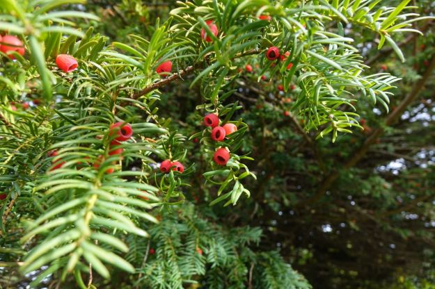 These look like berries on the yew in the churchyard, but they're not.