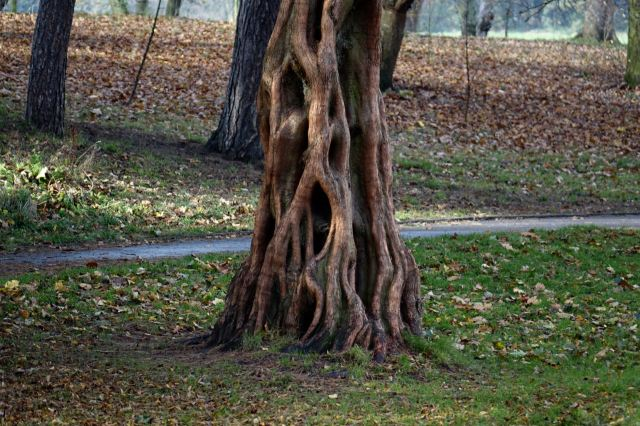 Some sort of sequoia.