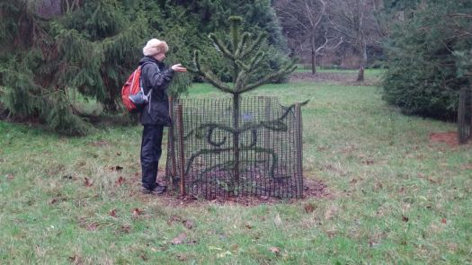 Monkey puzzle trees are found
