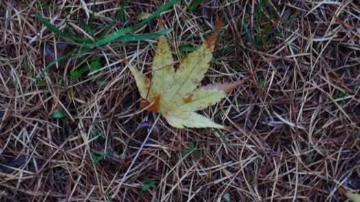 The acer leaves are well fallen
