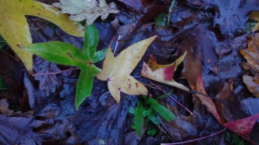 Colours of autumn, Liquidambar