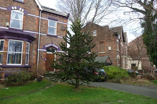 To find this Monkey Puzzle tree round the corner in Moss Lane.