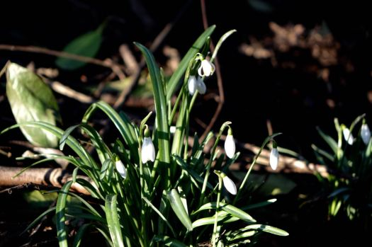 Where the snowdrops are out.