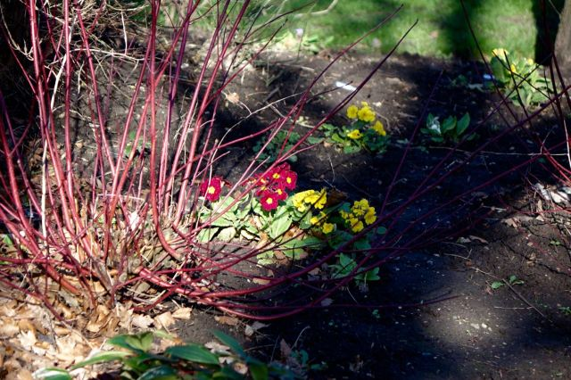 Red dogwood with bedding plants.