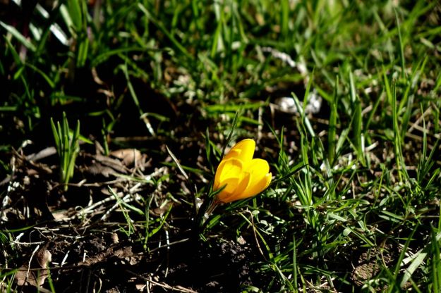 And the crocuses are beginning.