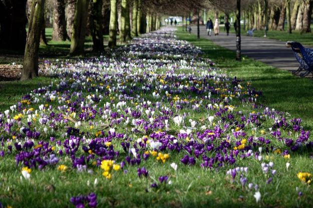 The avenue of crocuses.