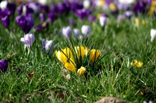 In all the crocus colours.