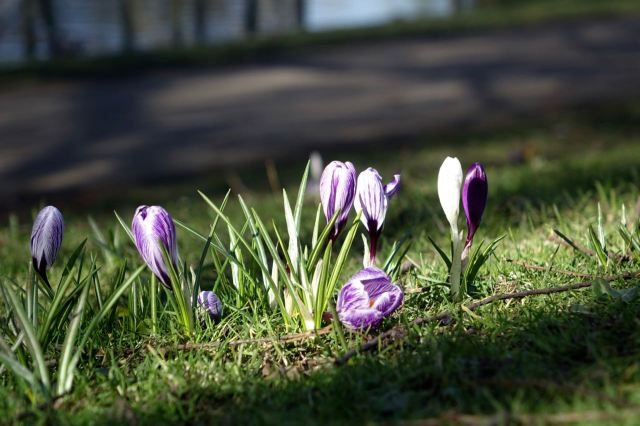 And there are plenty of crocuses to see now too.
