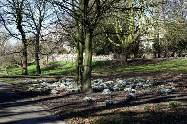 Liverpool largest display of snowdrops?
