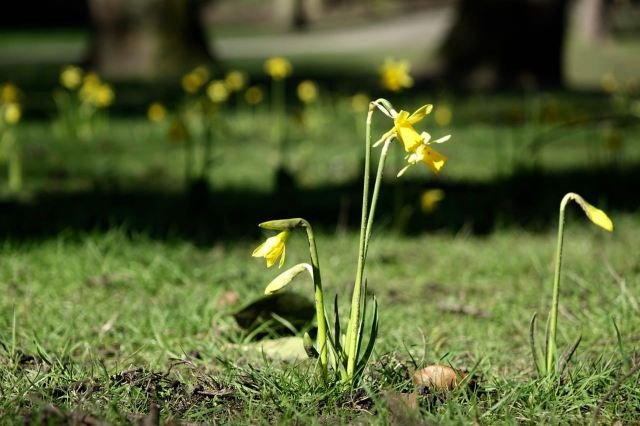 These tiny narcissi in the corner of Greenbank Park only visit for a short time around about now each year.
