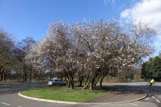 'The Tree' in full blossom.