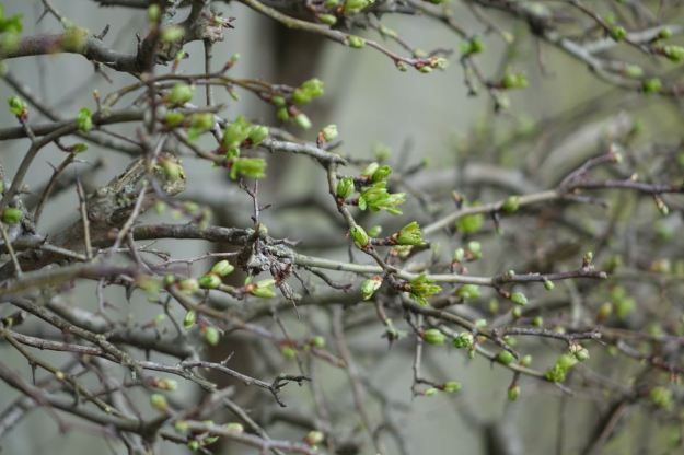 Hawthorn coming into leaf.