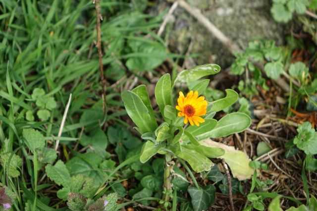 Marigolds in the church yard.