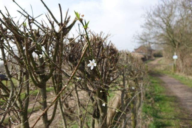 Pear blossom in the hedgerow.