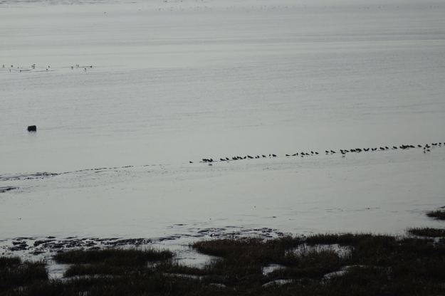 Feeding along the edge of the channel as the tide goes out.