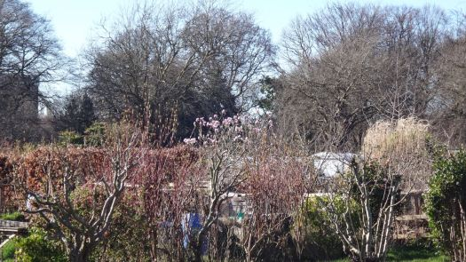 Today Sarah approaches down the path and sees it across other people's allotments.