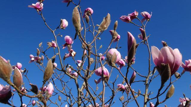 Sarah Hortons Magnolia Tree A Sense Of Place