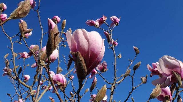 At Sarah's allotment the magnolia's in flower.
