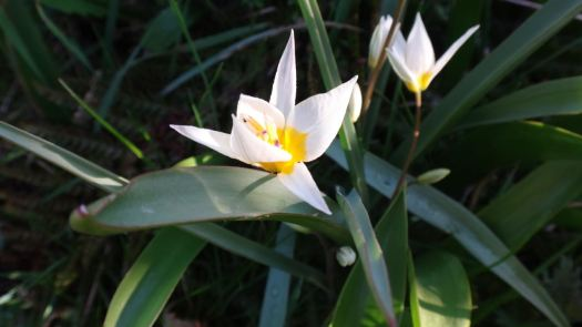 Tiny Tulip Turkestanica.