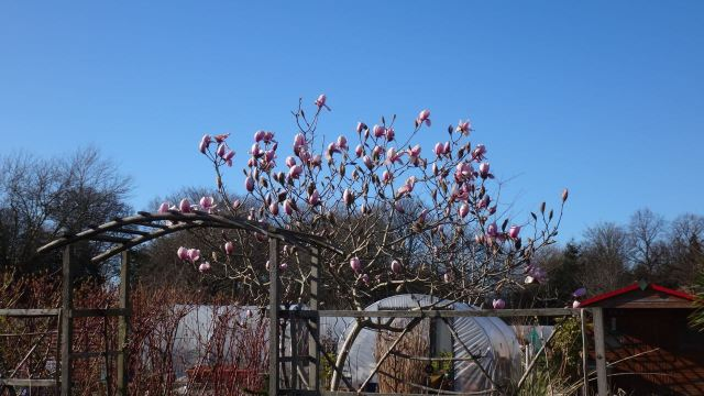 Sarah's magnolia tree.