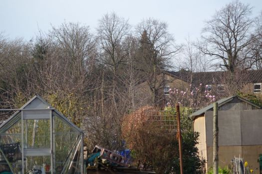 So all you get is this distant view of the magnolia from the allotment fence.
