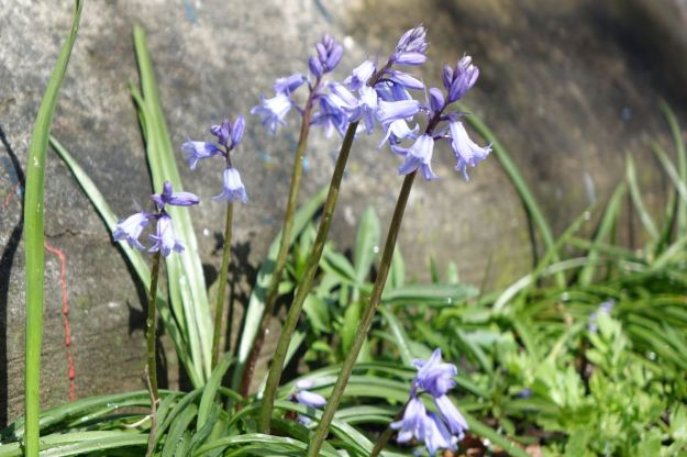 Bluebells, outside Rotunda and not here by accident.