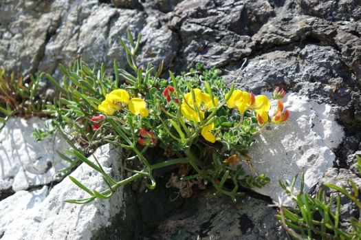 Gorse in the rocks by our picnic place.