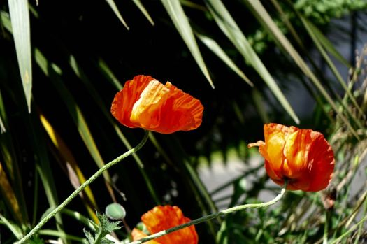 Poppies in Windermere Terrace.
