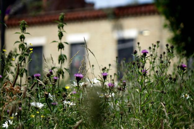 The wildflower meadow in Granby 4 Streets.