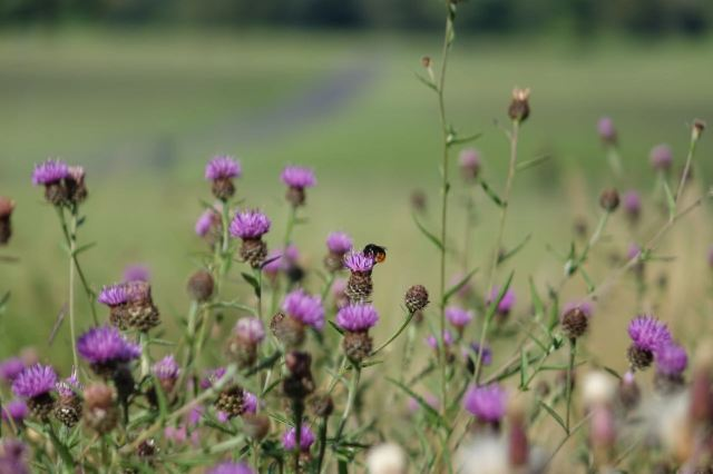 With bees in the thistles.