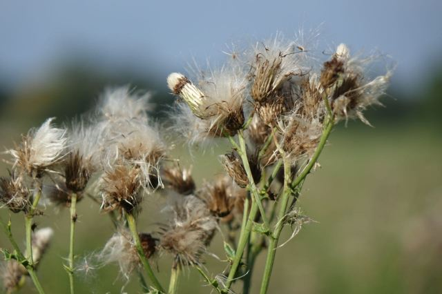 Though many of the flowers are turning to seeds now.