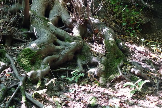 A long slow tumble of roots.