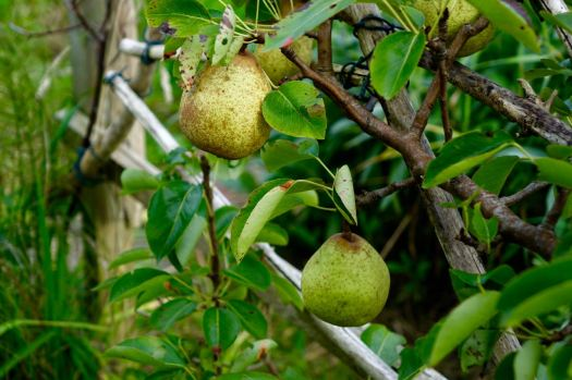 good harvest of pears.