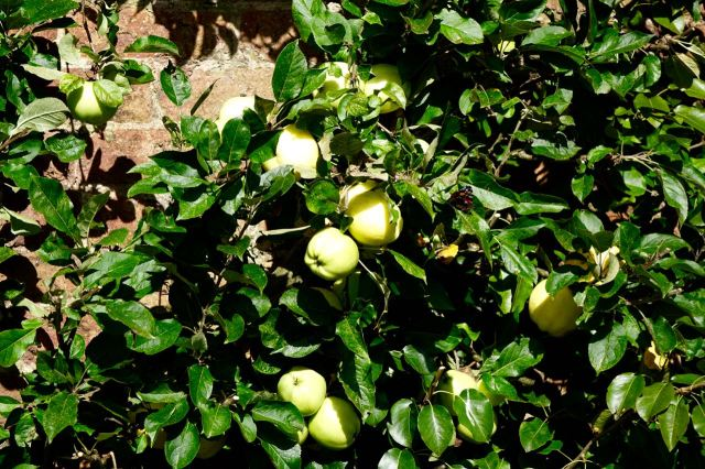 We walk on. Sarah thinks these might be large quince.