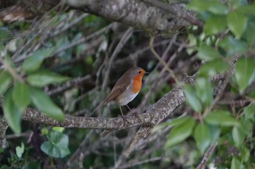 This robin in and out of the hedgerows alongside of us.