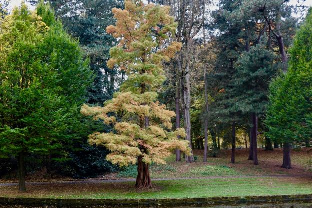 Metasequoia glyptostroboides - I checked.