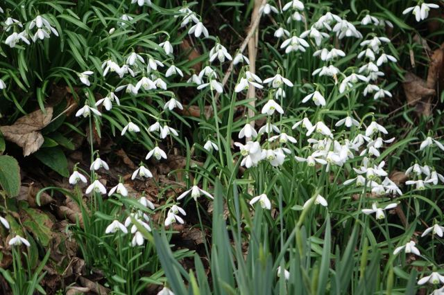 Next a feast of snowdrops.
