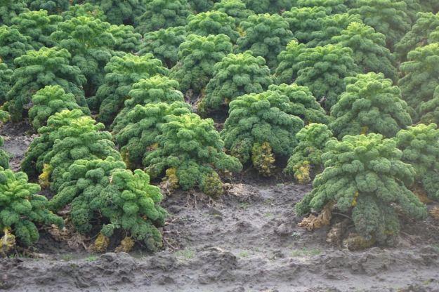 On a field of Kale.
