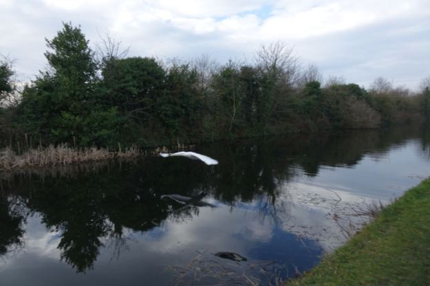 A swan flies past like an apparition.